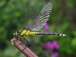 Almindelig Flodguldsmed (Gomphus vulgatissimus)